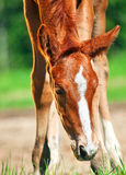Portrait of little chestnut foal Royalty Free Stock Photos