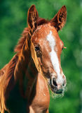 Portrait of little chestnut Hannover foal Stock Photo