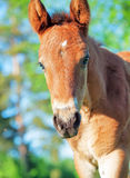 Portrait of little chestnut Hanoverian foal Stock Photo