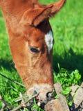 Portrait of little chestnut  Trakehner foal. Sunny day Stock Images