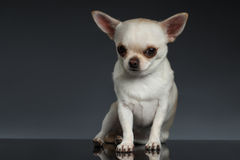 Portrait little Chihuahua dog Sitting on Blue backgroun Royalty Free Stock Photo