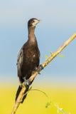 The portrait of Little Cormorant Stock Photo