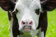 Portrait of little cow on meadow royalty free stock images