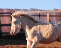 Portrait of a little cremello shetland pony foal Royalty Free Stock Photos