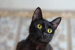 Portrait of a little curious black cat. At home royalty free stock images
