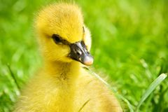 Portrait of a little curious gosling. Sitting in the grass royalty free stock images