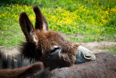 Portrait of little donkey Stock Image