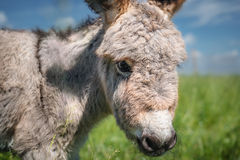 Portrait of a little donkey Royalty Free Stock Photography