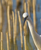 Portrait of a Little Egret Stock Image