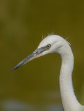 Portrait of Little Egret royalty free stock photos