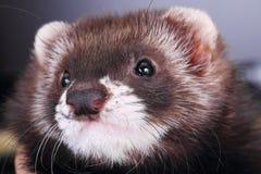Portrait of a little ferret Stock Photos