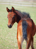 Portrait of little  foal  on green spring meadow Stock Photos