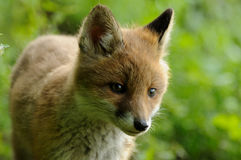 Portrait of an Little Fox Stock Images