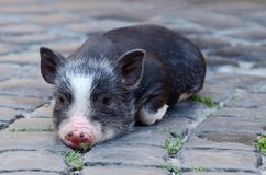 Portrait of little funny black vietnam piglet lying on ground Royalty Free Stock Photography
