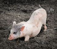 Portrait of a little funny piglet on a farm stock photography