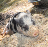Portrait of a little funny piglet on a farm. royalty free stock photography