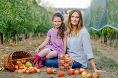 Portrait of little girl and beautiful mother with red apples in organic orchard. Happy woman and kid daughter picking royalty free stock photo