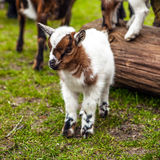 Portrait of little goatling close-up Royalty Free Stock Images