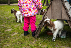 Portrait of little goatling close-up Stock Photography