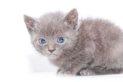 Portrait little gray kitten is scared frightened Royalty Free Stock Images