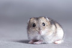 Portrait of a little hamster on grey background Royalty Free Stock Image