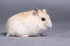 Portrait of a little hamster on grey background Stock Photography