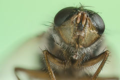 Portrait of a little house fly Royalty Free Stock Photography