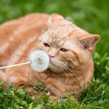 Red cat shiffing dandelion ball Stock Photos