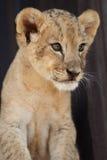Portrait of little lion cub Stock Image