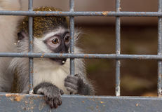 Portrait of a little monkey behind bars Stock Photo