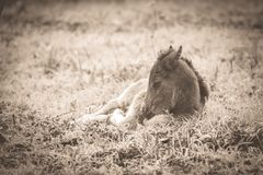 Sleepy newborn foal lying in the grass in sepia tone royalty free stock image