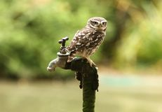 Portrait of a Little Owl. A little Owl perched on a tap Royalty Free Stock Photography