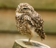 Portrait of a Little Owl. A little Owl perched on a tree stump Stock Photography