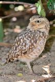 Portrait of a little owl. Close up portrait of a little owl perched on the ground Stock Image