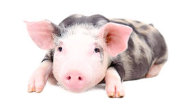 Portrait of the little pig Stock Image
