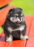 Portrait little Pomeranian puppy Stock Photos