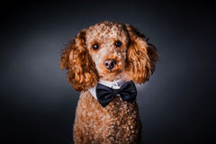 Portrait of little poodle Royalty Free Stock Images