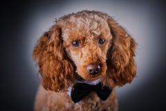Portrait of little poodle stock images