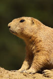 Portrait of a little prairie dog Stock Image