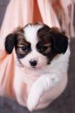 Portrait of a little puppy Stock Photos