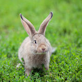 Portrait of little rabbit on green grass background Royalty Free Stock Images