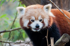Portrait of a little red panda Royalty Free Stock Photo