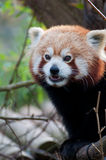 Portrait of a little red panda Royalty Free Stock Images