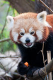 Portrait of a little red panda Stock Image