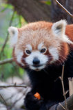 Portrait of a little red panda Royalty Free Stock Photos