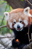 Portrait of a little red panda Stock Images