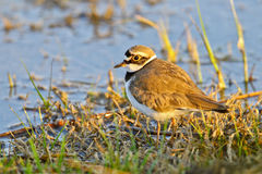 Portrait of a little ringed plover Stock Photography