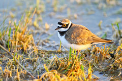 Portrait of a little ringed plover Royalty Free Stock Photos