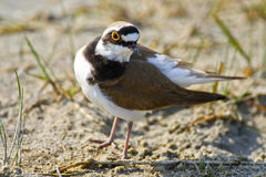 Portrait of a little ringed plover Royalty Free Stock Image