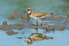 Portrait of Little Ringed Plover Stock Images